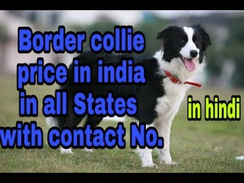 Border collie Price in india in all States With Contact No. In hindi || dob||