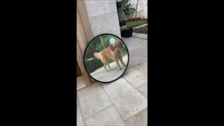 Dog Barking in Reaction to His Mirror Reflection