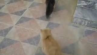 تلقيح قطة فلات فيس من فحل بيكي