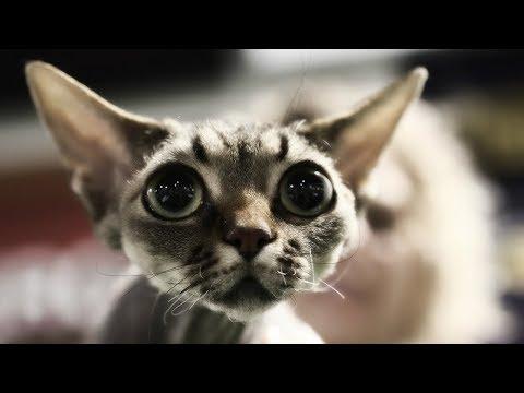 Девон Рекс - ХАРАКТЕР и ОПИСАНИЕ от Владелицы Кошки | Породы КОШЕК