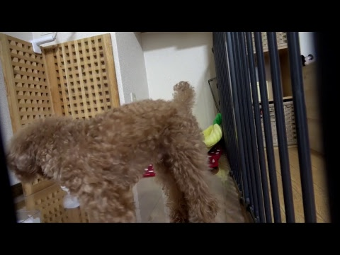 Toy Poodle Puppy dog Cam Live Stream Eve