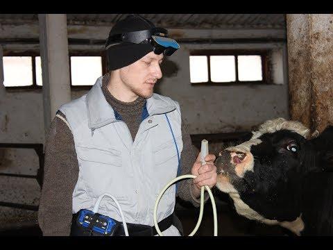 """""""НЕ РАБОТАЮТ"""" яичники у коровы, что делать когда у коровы гипофункция"""