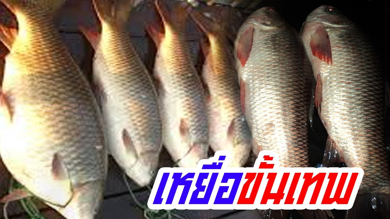 The best thai fishing  เทคนิคตกปลายี่สก  นวลจันทร์ หมายธรรมชาติ  ของฝรั่งพร้อมสูตรเหยื่อใต้คลิป