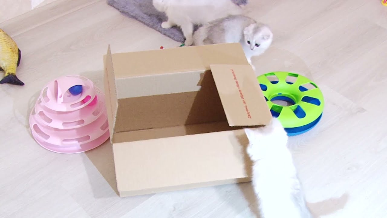 Silver Scottish kittens and the box