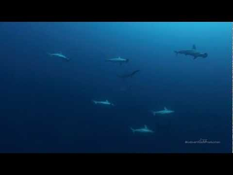 Scalloped hammerhead sharks HD