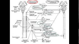 Вегетативная нервная система лекция