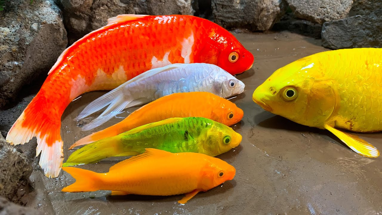 Stop Motion ASMR - Big Koi Rainbow Fish Swimming Pool Carp eel eggs Cuckoo Mud Cooking Experiment