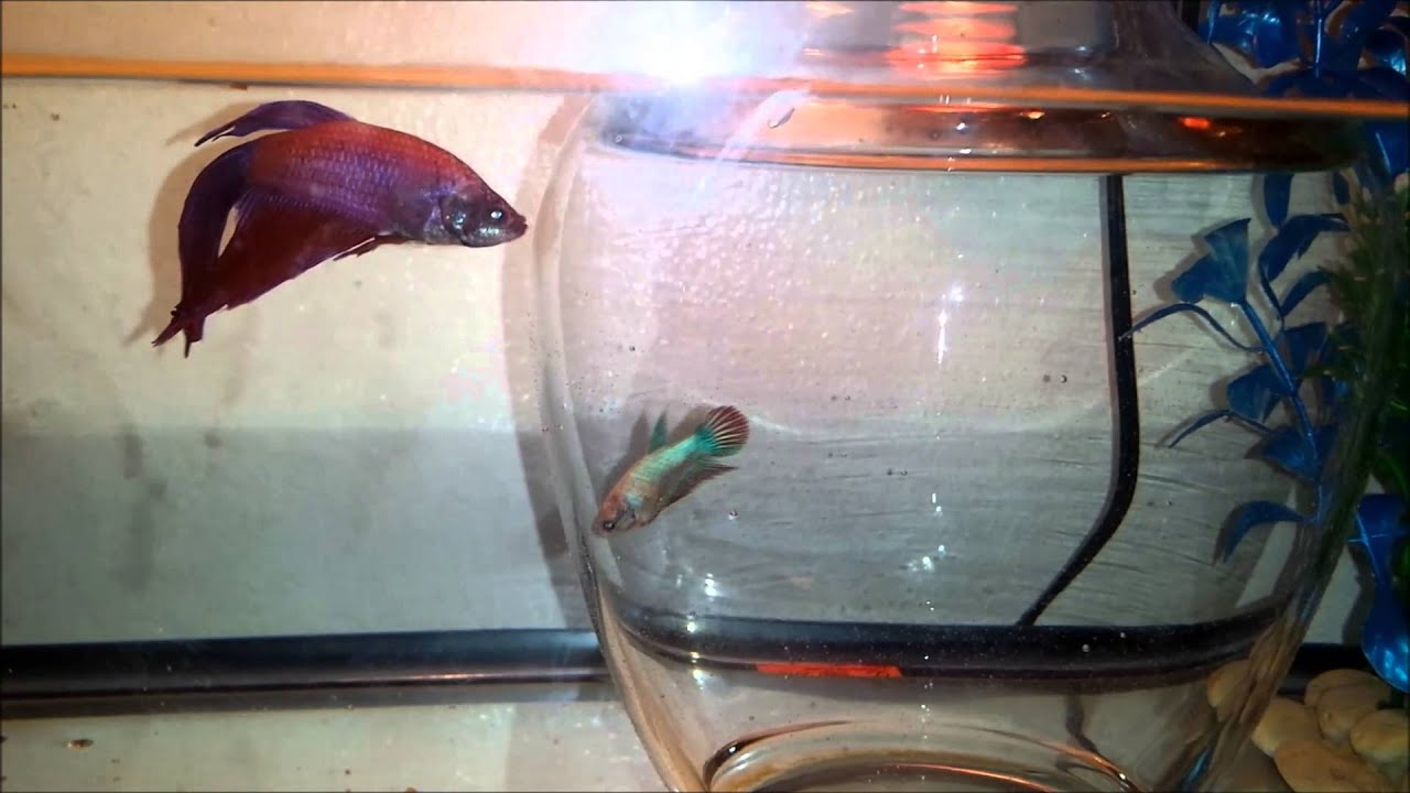 Introducing Male  Female Betta Fish To Eachother Part 1 -8821
