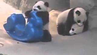 anak panda bermain (lawak)