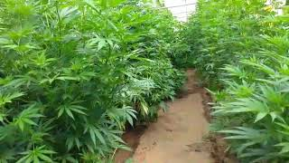 Detenido un exmilitar de 47 años en Lugo con unas 400 plantas de marihuana