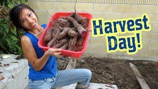 Purple Sweet Potato Harvest Day!