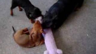 Займає 3 цуценя такси, щоб убити Бобо, іграшка Собака