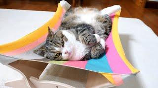 新しいハンモックの使い方を間違えちゃうねこ。Maru makes a mistake in using the new hammock.