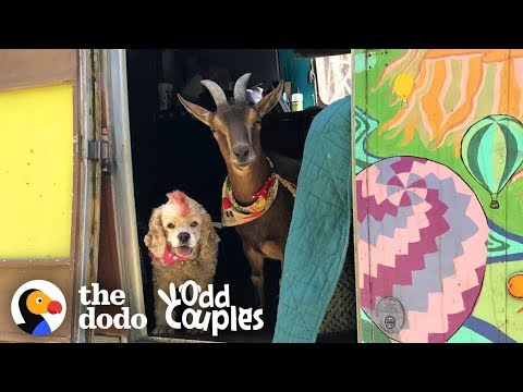 Goat And Senior Dog Are The Best Adventure Buddies | The Dodo Odd Couples