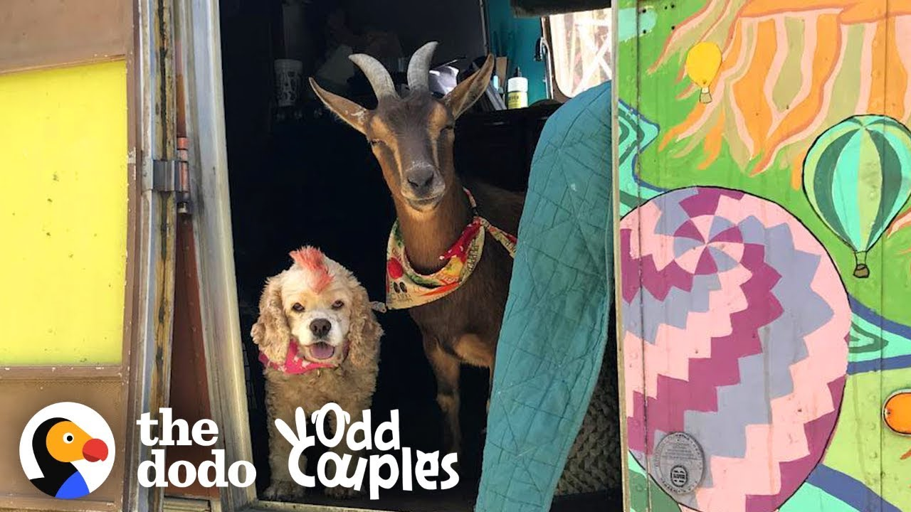 Animal Odd Couples Youtube goat and senior dog are the best adventure buddies | the dodo odd couples
