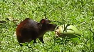 Agouti on Ile Royale, French Guiana