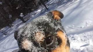 Собака Ротвелер