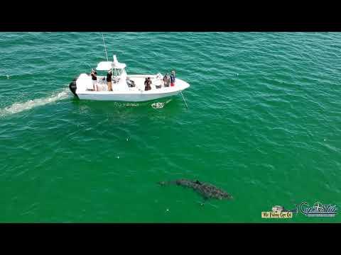 Huge Great White Shark Off Cape Cod, MA (8/11/2019)