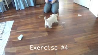 Sadie - 5 1/2 Weeks Old - Diabetic Alert Dog Scent Training