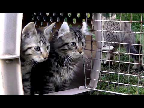4 Exotic Lynx Hybrid Kittens