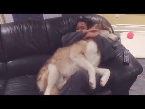 Giant Alaskan Malamute makes the perfect lap dog