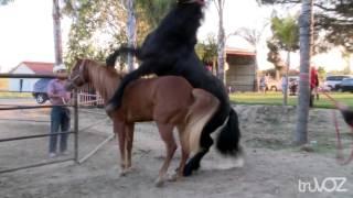 Свадьба Андалузских лошадей