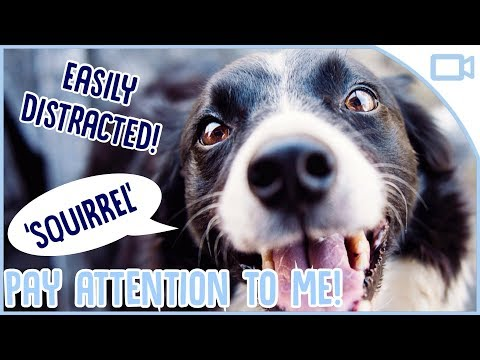 how-to-train-your-dog-to-pay-attention!