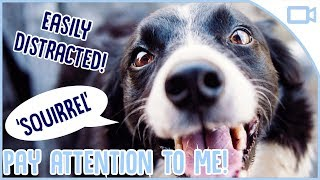 How to Train Your Dog to Pay Attention! - When you're out walking a...
