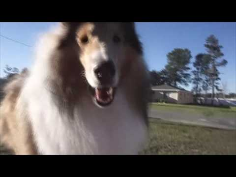 So You Think You Want A Rough Collie | SHEDDING... Or Not?