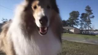 So You Think You Want A Rough Collie   SHEDDING... Or Not?