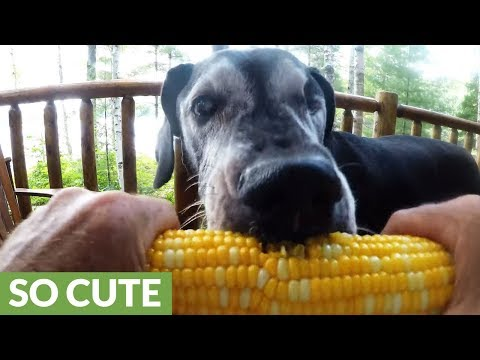 Old Great Dane eats corn on the cob like a pro