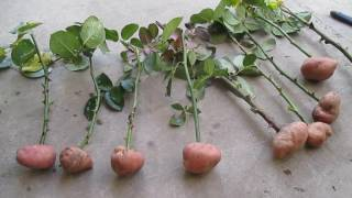 Живці троянд в картоплі. ч. 1. Rose Cuttings in potatoes. Part 1