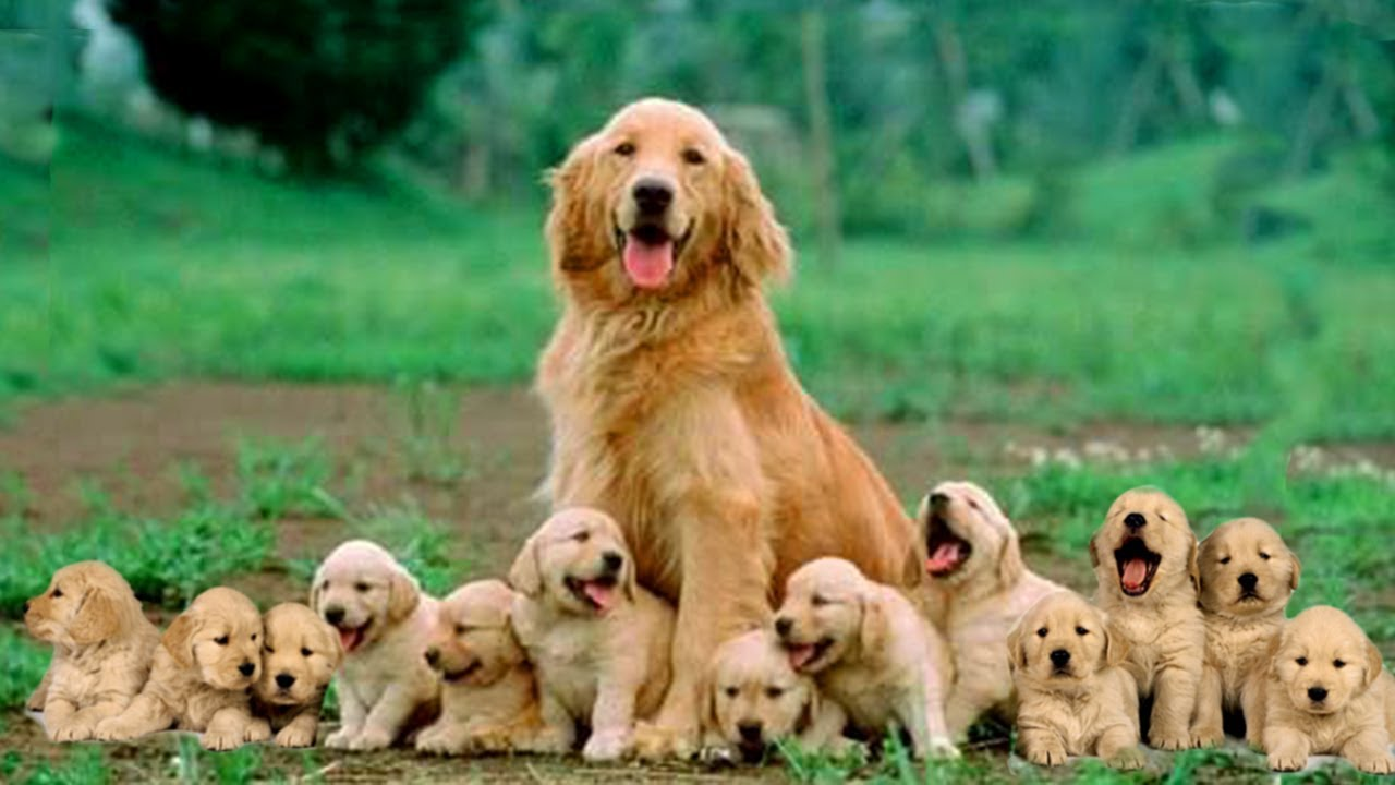 Mom Golden Retriever Dog Giving Birth To 14 Cute Puppies- Life Of ...