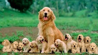 Mom Golden Retriever Dog Giving Birth To 14 Cute Puppies- Life Of Dog Breed