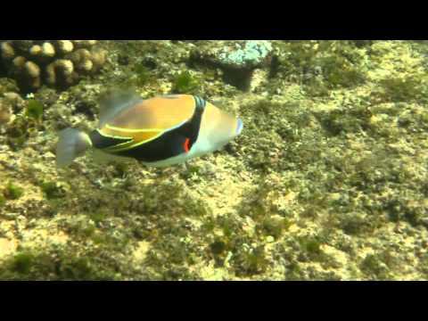 Hawaiian Triggerfish (humuhumunukunuku a pu a a) Kapalua Bay Maui February 2013