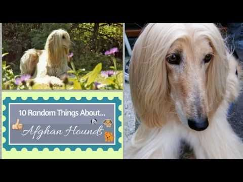 10 Random Things About...Afghan Hounds