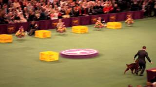 westminster kennel club dog show 2012 best in show