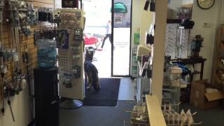 "German Shepherd Holly ""advanced Door Manners!"""