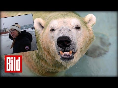 Nach Eisbären-Attacke wird in Churchill aufgerüstet - Halloween nur noch bewacht!