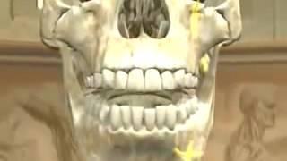 Los nervios craneales o doce pares craneales