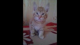 Тайна жизни домашних животных. Непоседа рыжий котёнок  Симон