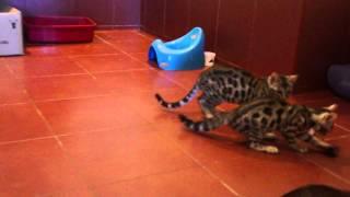 Бенгалы на продажу серебро коты и голубая кошка наш сайт http://bengallll.jimdo.com/