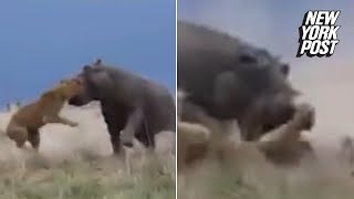 Hippo Grabs Lion By Its Head and Shows It Who's King | New York Post