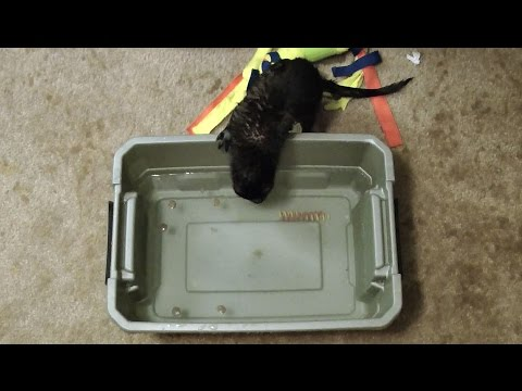 Rescued Mink Experiences Water For the First Time - Pure Joy