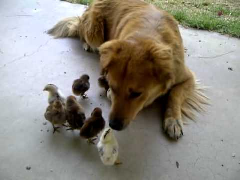 Dog (half Coyote/Retriever) adopts 10 baby chicks