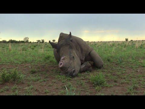 Afrique du Sud: un éleveur veut vendre de la corne de rhinocéros