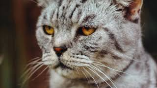 Top 10 meanest house cat breeds