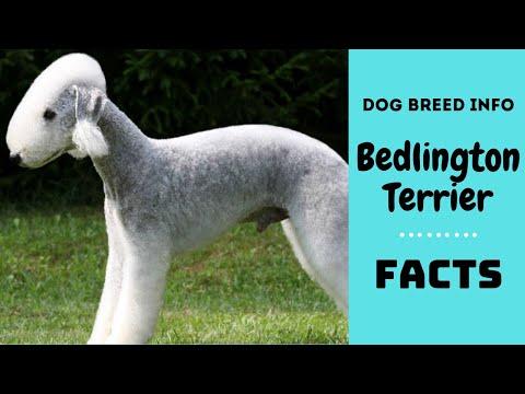 Bedlington Terrier Grooming Video Funnydog