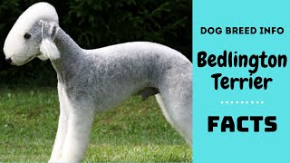 Bedlington Terrier dog breed. All breed characteristics and facts about Bedlington Terrier