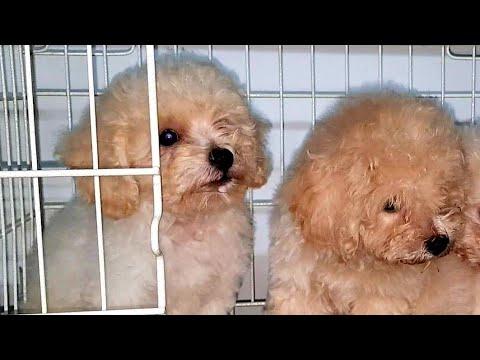 Chó Toy Poodle con đực trắng kem